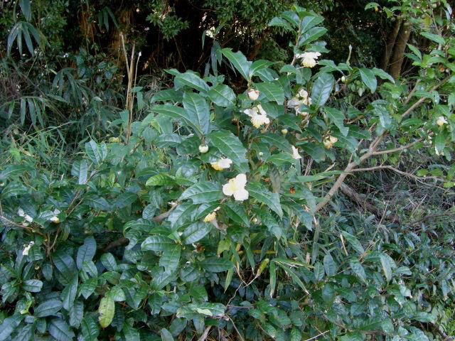 湖国の花:チャノキ(茶の木)